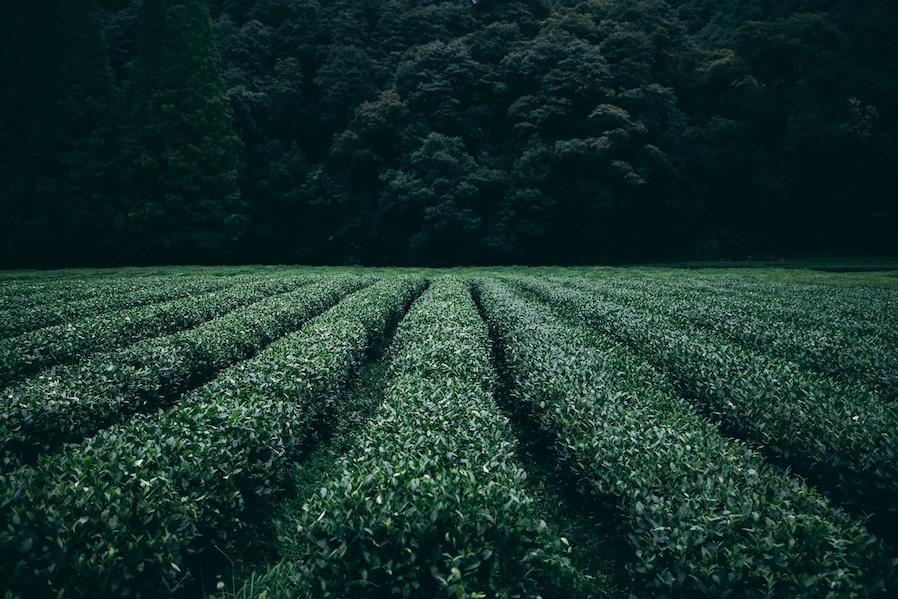 Plantation de thés